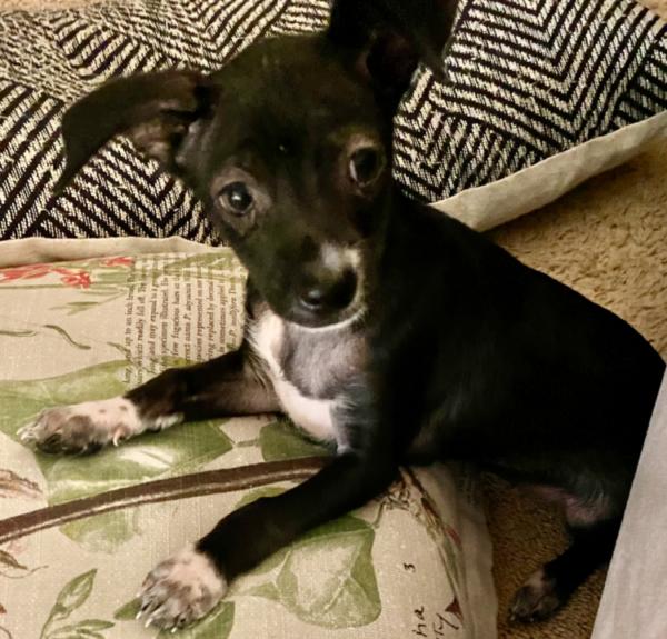BRONSON – adoption pending